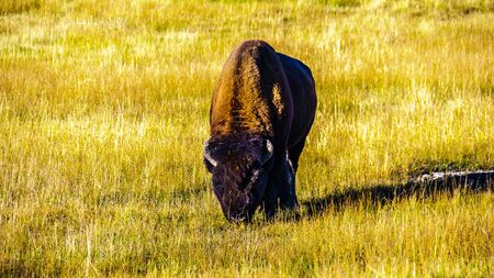Bison grazing in Yellowstone National Park in Wyoming, United States of America Imagens