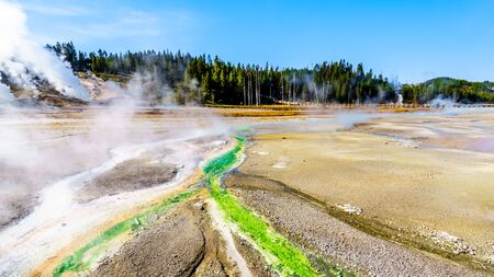 Lime-green Cyanidium algae thrive in warm water flowing from the Geysers in the Porcelain Basin of Norris Geyser Basin area in Yellowstone National Park in Wyoming, United States of America