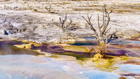 Dead trees caused by mineral rich waters and vapors near Canary Spring on the Main Terrace in the Mammoth Springs area of Yellowstone National Park, Wyoming, United States