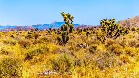 Joshua Trees in the semi desert landscape along the Great Basin Highway, Nevada SR 95, between Panaca and Area 51 in Nevada, United States