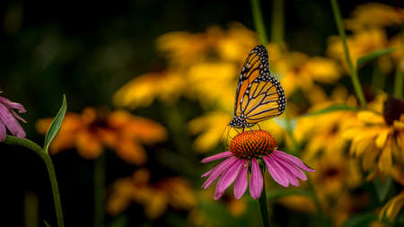 Monarch Butterfly on an Echinacea Purple Coneflower
