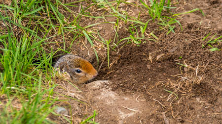 A Columbian ground squirrel coming out of his burrow in the high Alpine of Tod Mountain in the Shuswap Highlands of British Columbia, Canada