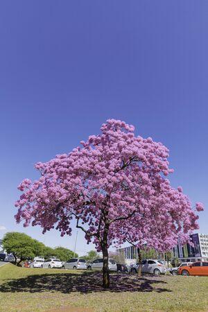 Pink ipe, pink trumpet or pink tab tree. Brasilia, DF / Brazil.