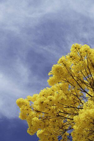 Golden trumpet tree under a cloudy sky.