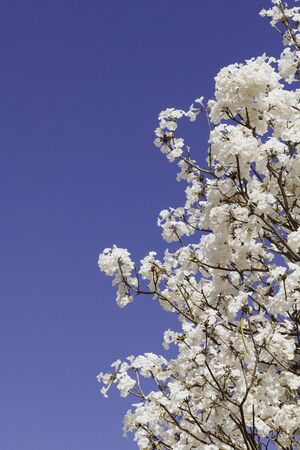 White trumpet or tab tree under a blue sky.
