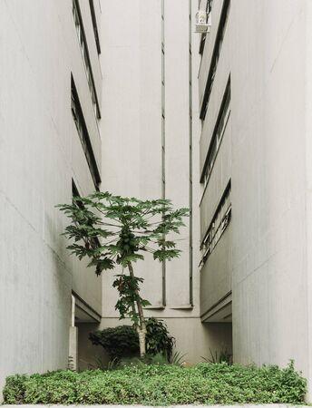 Papaya tree growing between buildings.