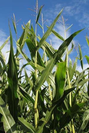 corn stalks: Tip of corn stalks with blue sky background.
