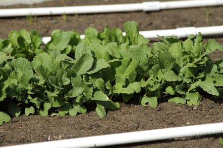 radishes: New garden growth from backyard garden radishes. Stock Photo