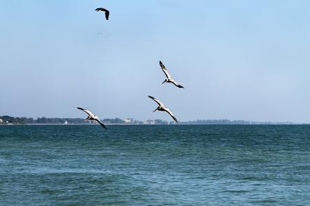 Five pelican birds flying over the Atlantic Ocean at Siesta Beach in Florida.