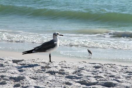 A seagull standin gon the white sandy beach in Siesta Beach, Florida.