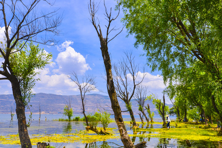 full willow: Erhai Lake scenery
