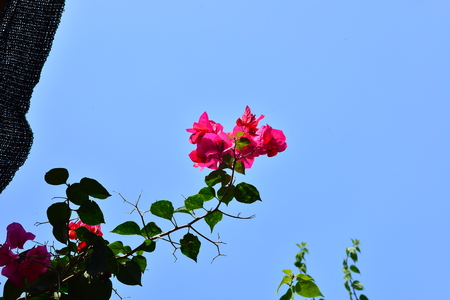 color bougainvillea: bougainvillea under the blue sky  Stock Photo