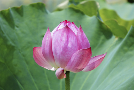 puberty: The lotus in early puberty