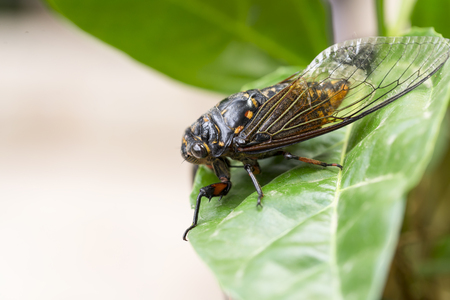 crick: Cicadas close-up on a leaf Stock Photo