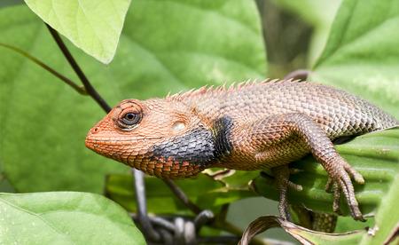 lizard in field: lagarto de dragón Foto de archivo