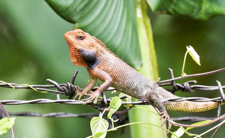 lizard in field: El lagarto (camaleón), el teleobjetivo