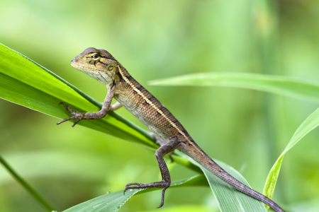 lizard in field: A small lizard (chameleon) climb in green leaves, long shot