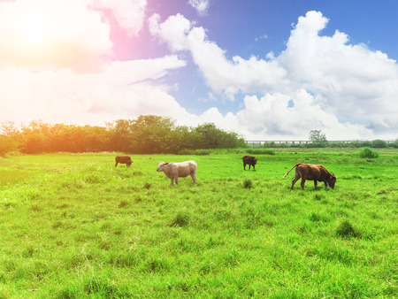 Cattle on the meadow under the blue sky and white clouds
