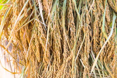 Dried ripe rice ears close-up.