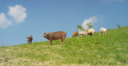 On the farm, group beautiful pigs (pink, brown) were let out for a walk along mountainside