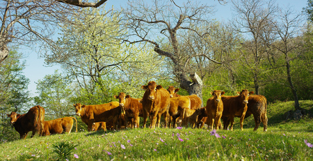 On the farm from the pen to a beautiful, well-groomed herd of cows (brown), beautiful filming from the side, on the background of gras and trees, concept: ecology, livestock, bio.