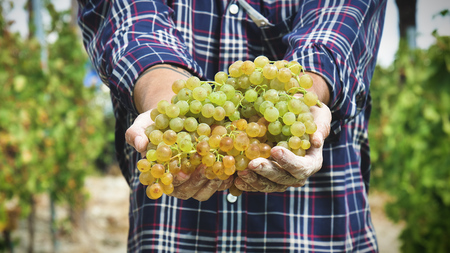 Man in September for harvest harvest. bio concept, organic food, nature and fine handmade wine Foto de archivo