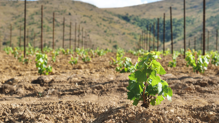 A man in a vineyard planting vine plants, and planted earth to make them grow healthy and prepare for wine production. Concept of: nature, wine, bio, agriculture. Stock Photo
