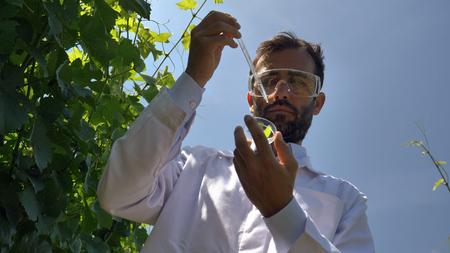 Ein Pflanzenspezialist überprüft die Traubenfelder, nimmt eine Probe der Blattfeuchtigkeit, einen grünen Hintergrund. Konzept: Ökologie, Wein, Bioprodukt, Inspektion, Wasser, Naturprodukte, Professional.