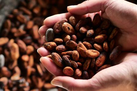 Nahaufnahme einer Hand, die in der Hand eine Kakaopflanze hält. Die Frucht enthält Kakaobohnen, die dann in der Sonne getrocknet werden. Konzept von: Desserts, Tradition und Essen.