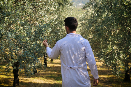 An agronomist with white coats walks among the olive trees to check the quality of the olives that will be harvested. Concept of: quality, olives, science and bio.