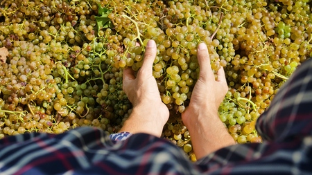 two hands of farmer in September for harvest harvesting, harvesting and harvesting the selected grape bunches in Italy. bio concept, organic food, nature and fine handmade wine
