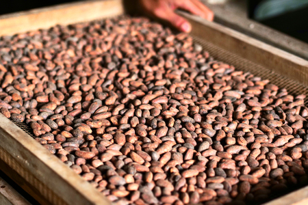 Close-up of a hand holding a cocoa plant in hand. The fruit contains cocoa beans which are then dried in the sun. Concept of: desserts, tradition and food.