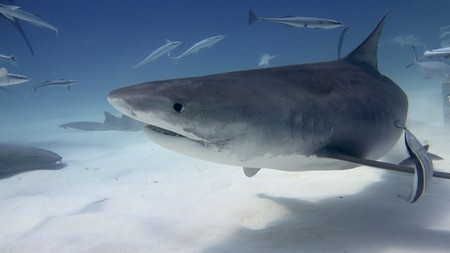 White shark swimming and looking to eat in the deep blue of the oceans.