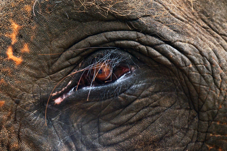Macro shot of an elephant's eye, where wrinkles from the age of the animal can be seen.