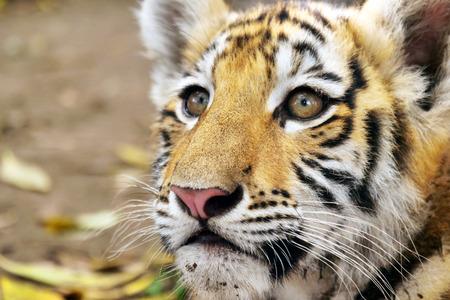 Primo piano di un simpatico cucciolo di tigre nella foresta. Concept: amore per gli animali, la natura, la protezione