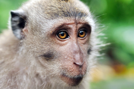 Portrait of a wild rhesus monkey macaque sitting on a branch at rain forest in ubud bali indonesia Reklamní fotografie