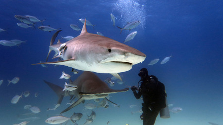 a scuba diver feed a very big tiger shark. concept of travel and diving tools. love for nature and oceans