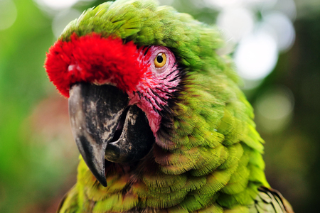 Close up of green macaw parrot Stock Photo