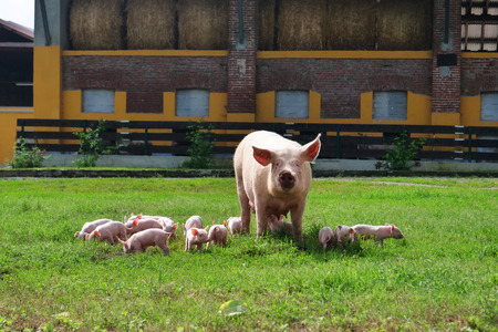 Family of pigs in a green open-air lawn where the puppies are nursing from their mother. concept of biological, animal health, friendship, love of nature. vegan and vegetarian style.