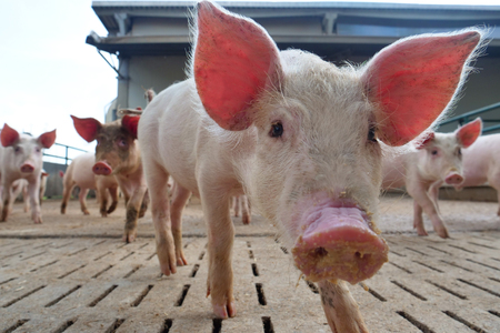 A farmer carefully raises his pigs in a biological way. Concept of: nature, bio, breeding,
