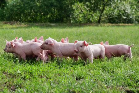 lindo cerdo recién nacido de pie sobre un césped. concepto de salud biológica, animal, amistad, amor por la naturaleza. estilo vegano y vegetariano.
