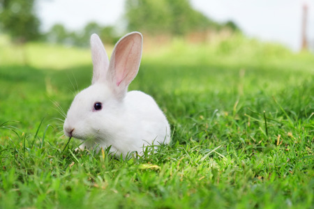 A rabbit eating green grass in the meadow and looks around the nature surrounding it. Concept of: easter, animals, vegan, magic. Reklamní fotografie - 113376036