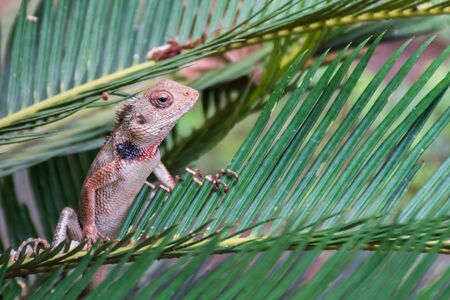Oriental Garden Lizard (Calotes versicolor) staring out from a branch 写真素材
