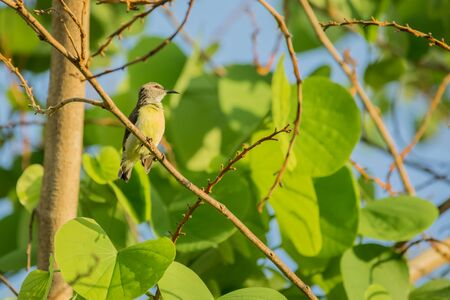 Purple rumped Sunbird (Leptocoma zeylonica) perched on a tree with bright green leaves.