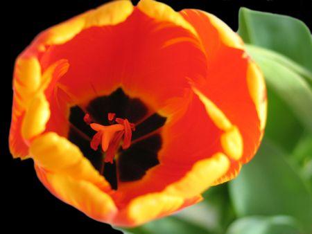 The beautiful red-orange tulip photo