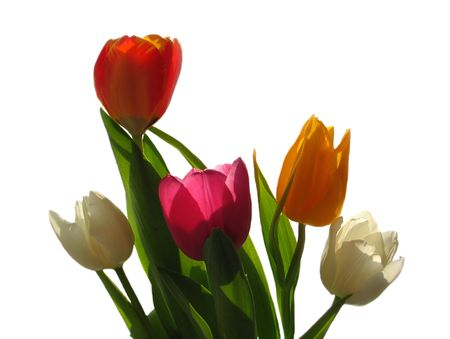 variegated: The bouquet of five variegated beatuful tulips