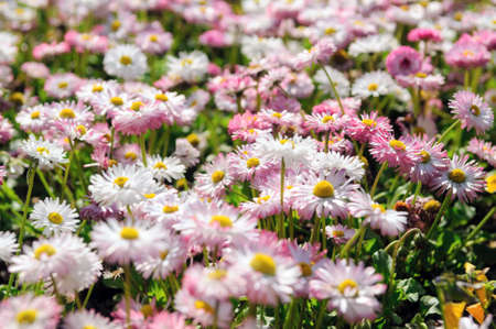 field of blossoming daisies in garden