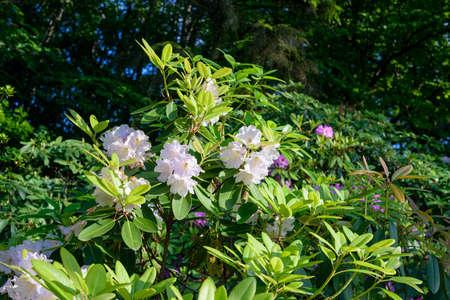 pink rhododendron bush flower in summer garden Standard-Bild