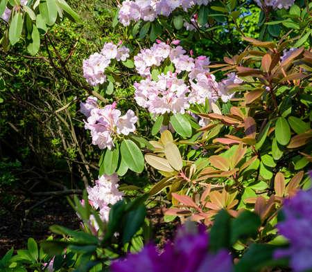 pink rhododendron bush flower in summer garden