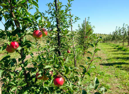 Young trees sapling with red apples in an orchard Standard-Bild
